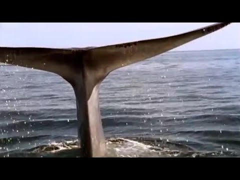 Blue Whale - Blue Planet - BBC wildlife