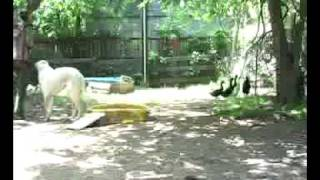 Chicken & Duck friendly Livestock Guardian Dogs.mp4