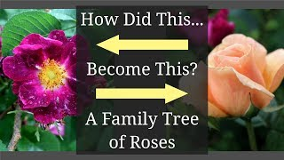 A Family Tree of Roses: Rose Varieties Chart