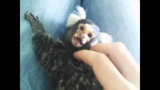 Marmoset marmozet monkey playing.