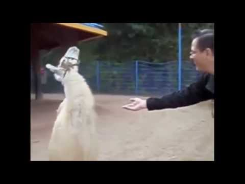 "Llama Vine - ""If you ain't talkin money..."" Funny Vine"
