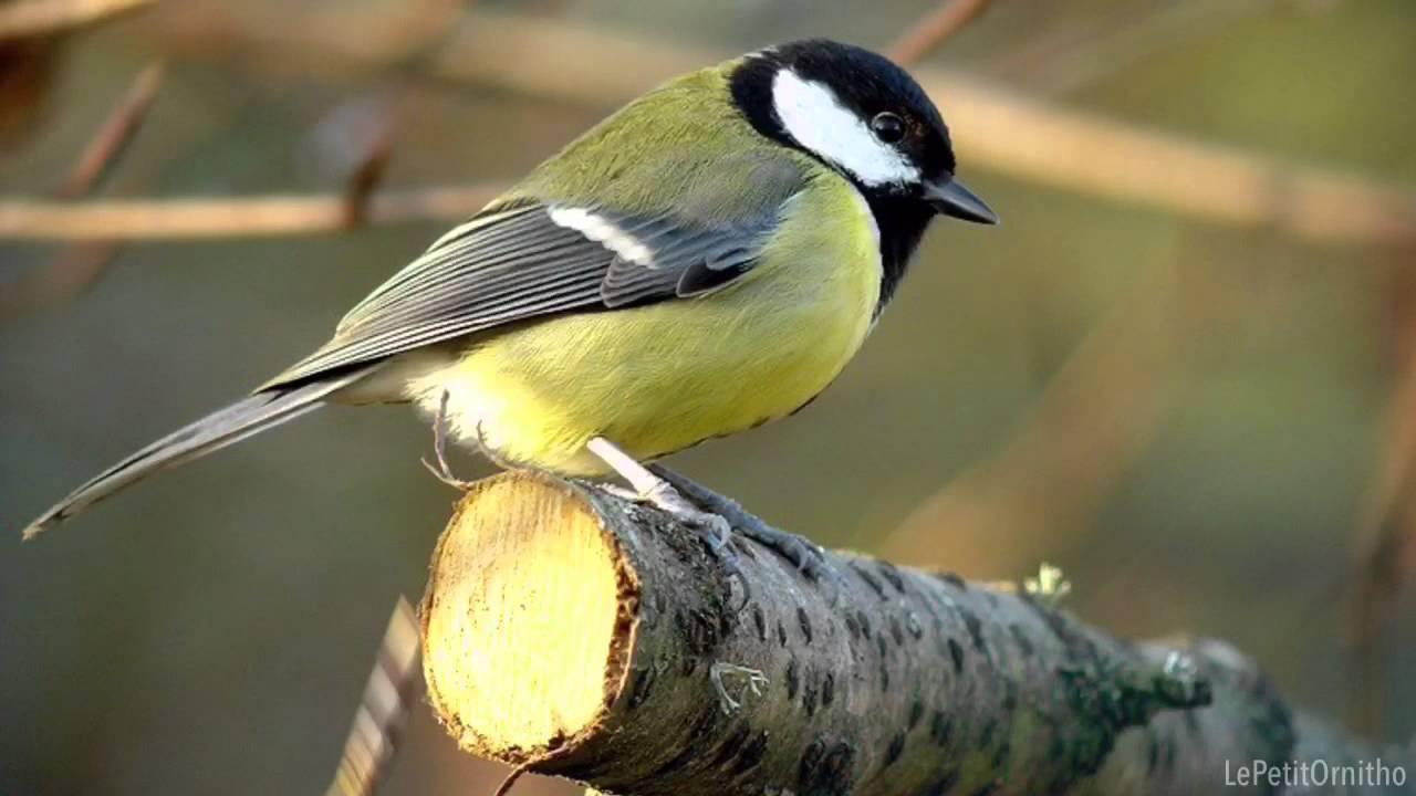 Fiche didentification : Mésange à tête noire (Poecile atricapillus) est un oiseau.