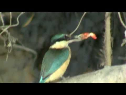 Daiintree River Sacred Kingfisher