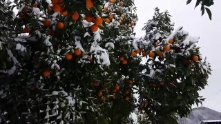 Заснеженные апельсины Абхазии