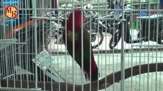 burung nuri ambon