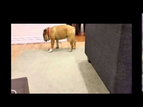 DOG PASSES OUT FROM OWN FART