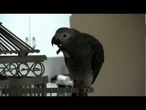 African Grey Parrot bebo says Allah ho Akbar
