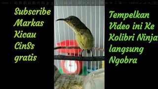 Tempelkan kicauan burung Kolibri ninja ijoan muda gacor ke Kolibri anda dijamin langsung nyahut .