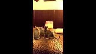 Savannah cats in slow motion. Part 2. / Кошка Саванна в замедленной съемке, часть 2.
