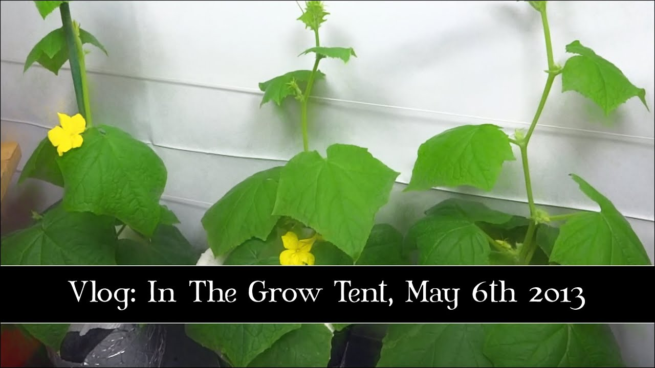 Indoor Garden Grow Tent May 6th 2013 Youtube