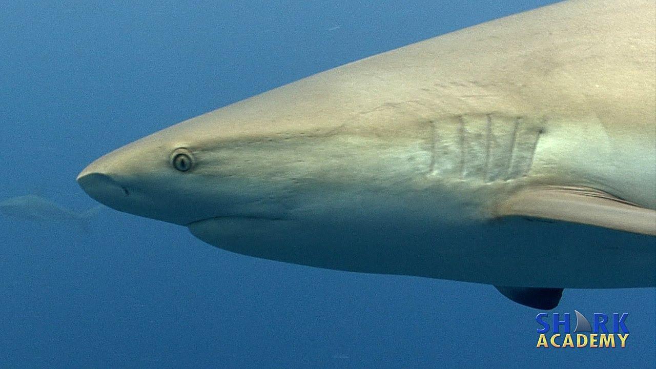Caribbean Reef Sharks SHARK ACADEMY - YouTube