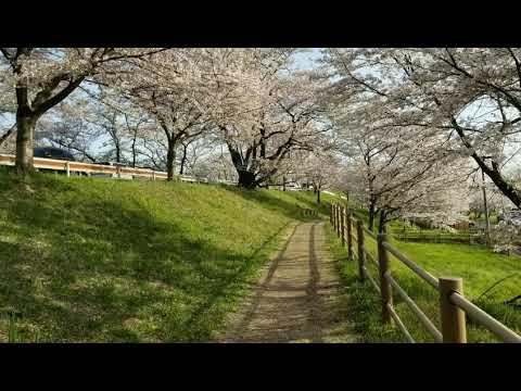 sakura di kakamigahara