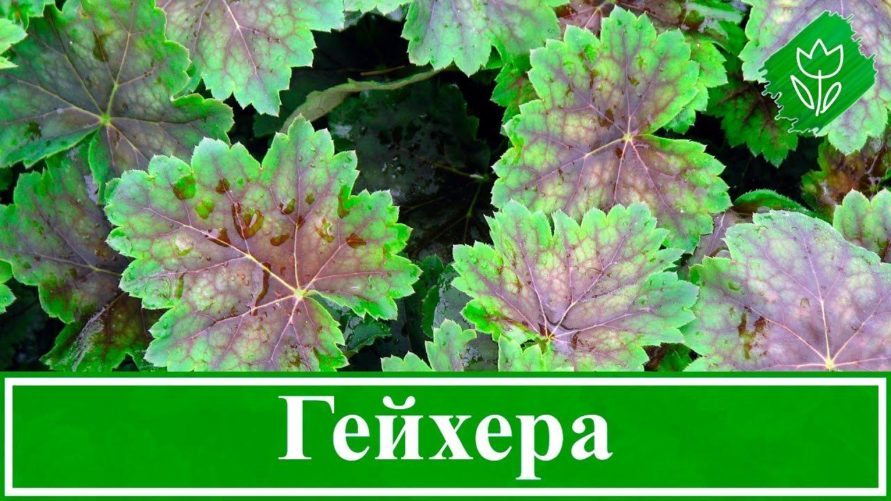 Цветок гейхера – посадка, уход, выращивание и сорта - YouTube