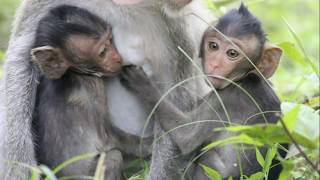Adorable Twins babies Monkeys-Mikey and Mischa Are Beautiful_ Hard Work for Mom