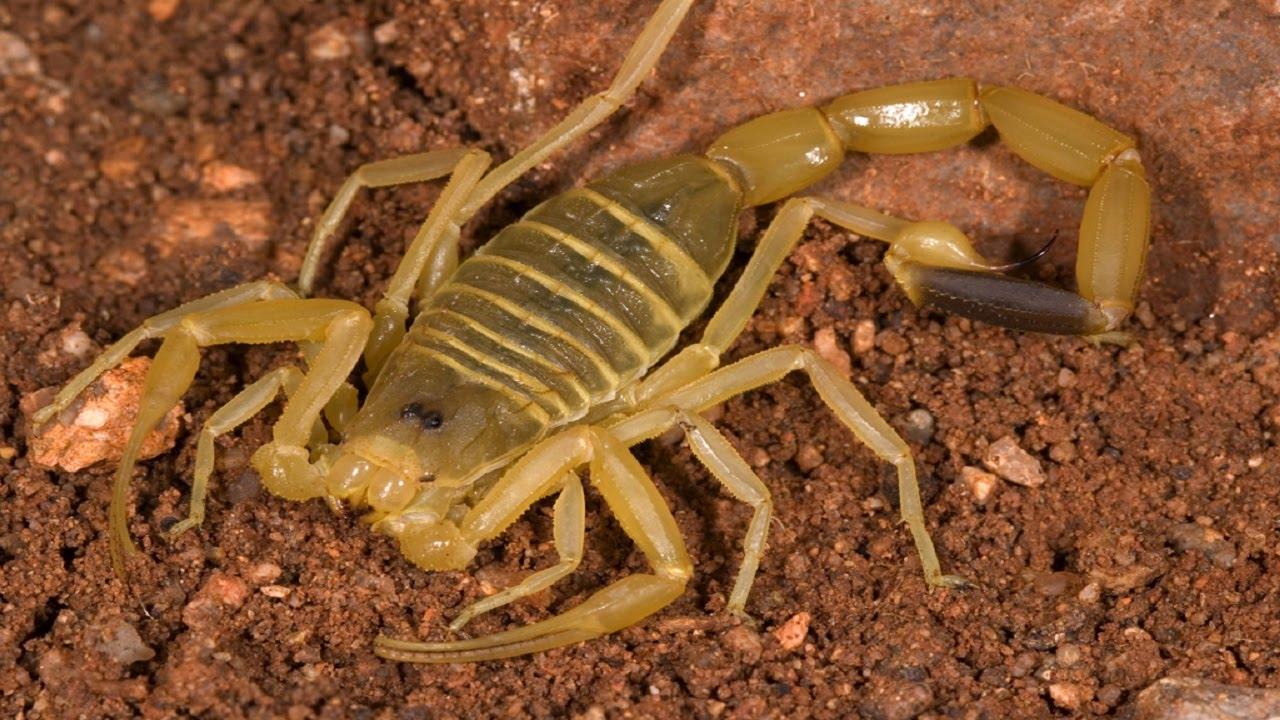 Scorpion killer. Deathstalker Scorpion ( Leiurus ...