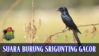 Suara Burung Srigunting cocok buat Masteran Full 1 Jam