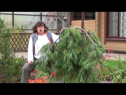 Хвойные растения: сосна кедровая, сосна веймутова, кедровый стланик.