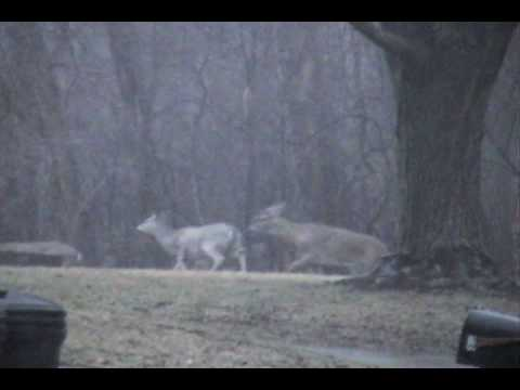 Deer in Waterford, Michigan