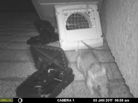 Rat exiting one way door on roof