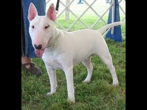 Bull Terrier History And Tribute