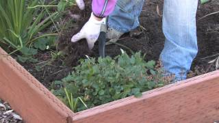 Plant Care & Gardening : How to Transplant Strawberries