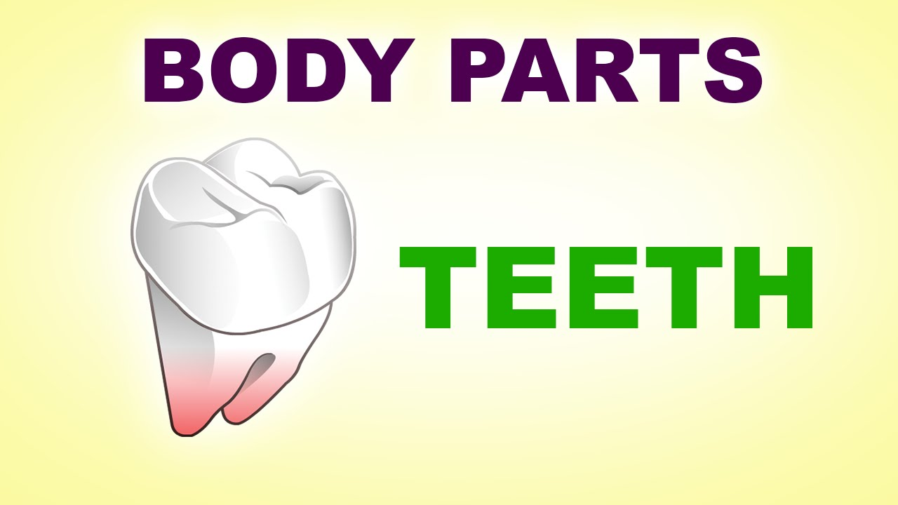 Teeth Human Body Parts Pre School Know Your Body Animated