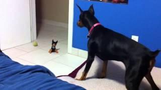 Такая большая собака испугалась игрушки