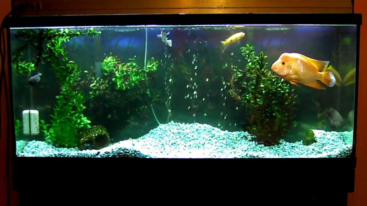 African Cichlid and Red Devil 55 gallon Tank Kills my blue gravel - YouTube