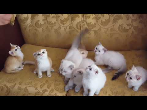 Scottish fold straight available kittens