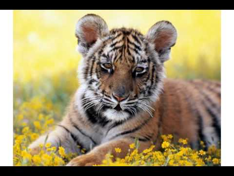 Image result for birthday tiger