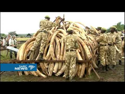 Trade in ivory and rhino horn tops agenda at COP17 conference