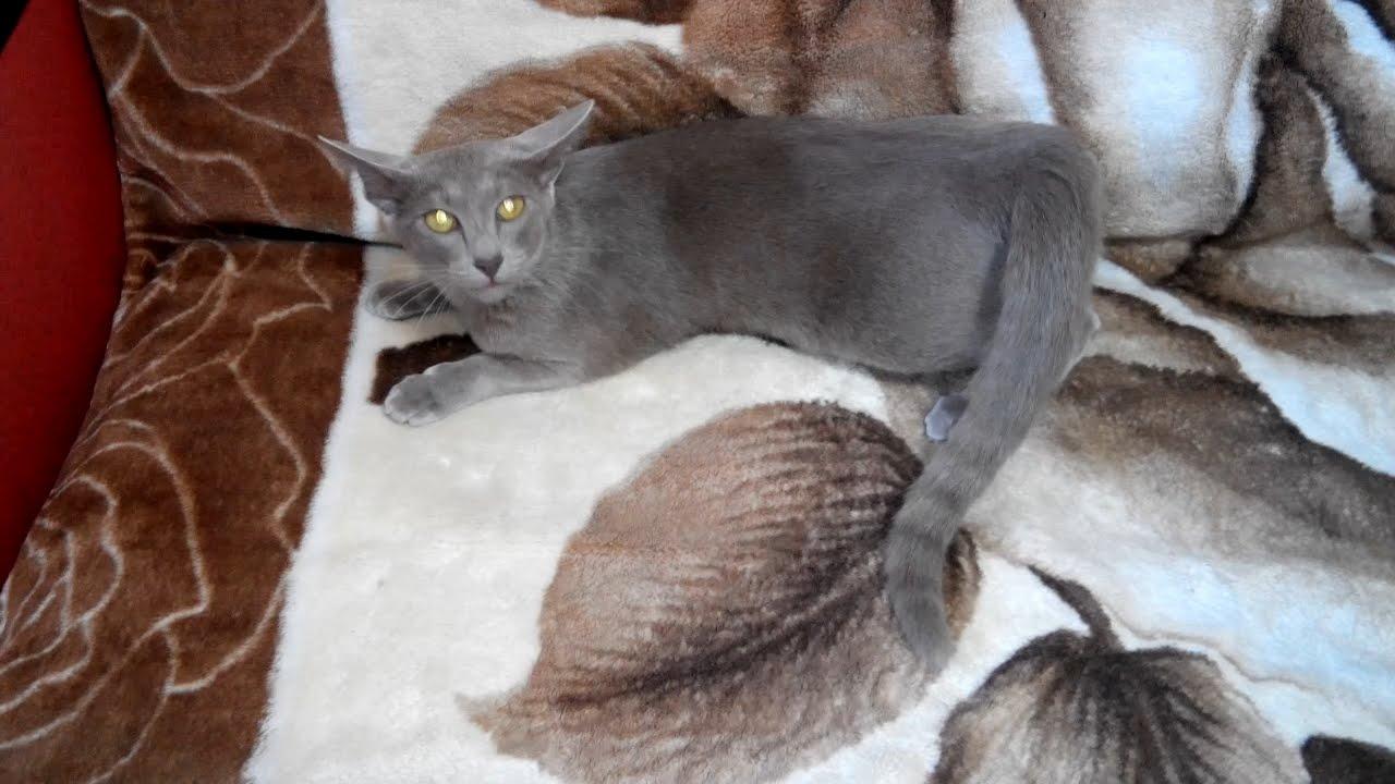 сколько продолжается течка у кошки