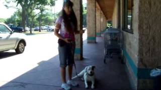 Training A Deaf Dog With Electronic Vibrating Collar Dogtra