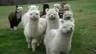 what sound does an alpaca make