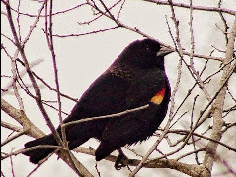 A male red-winged blackbird sings in early spring