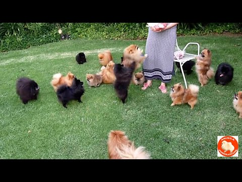 Treats for Anjula Pomeranians Toypoms - S & A