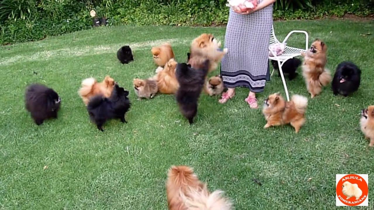 Treats for Anjula Pomeranians Toypoms - S & A
