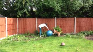 Ozzy English bull terrier with his new ball