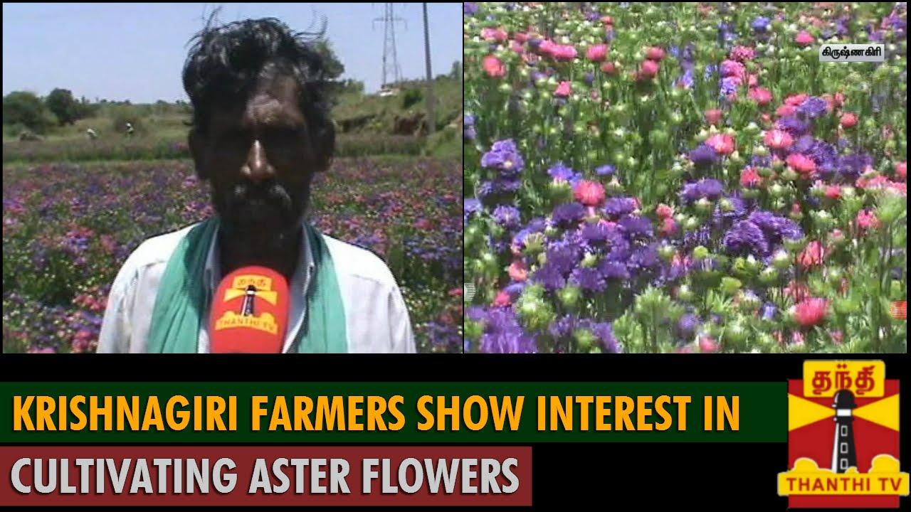 Krishnagiri Farmers Show Interest In Cultivating Aster Flowers Thanthi Tv Youtube