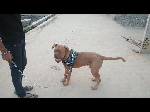 French Mastiff dog playing with her owner/ Indian French mastiff dog.