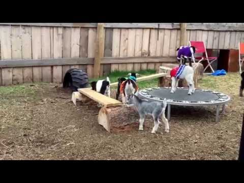 Baby goats in clothes playing on a trampoline