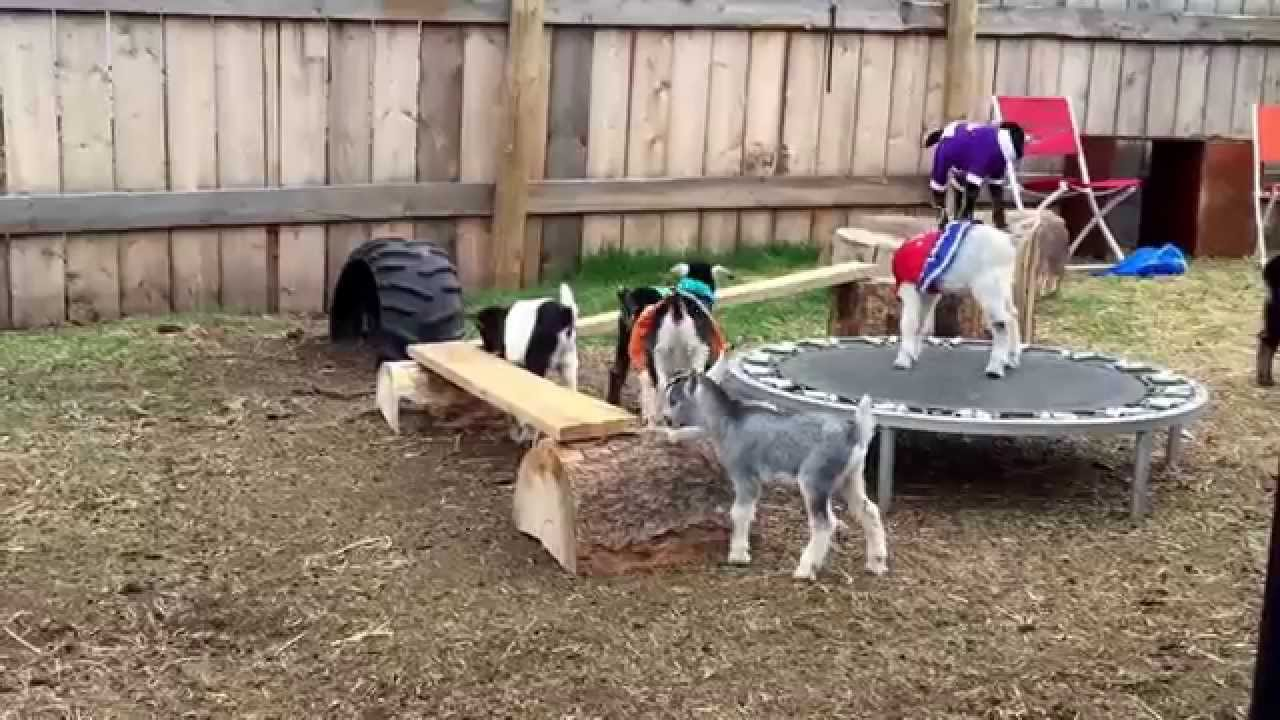 Baby goats in clothes playing on a trampoline - YouTube