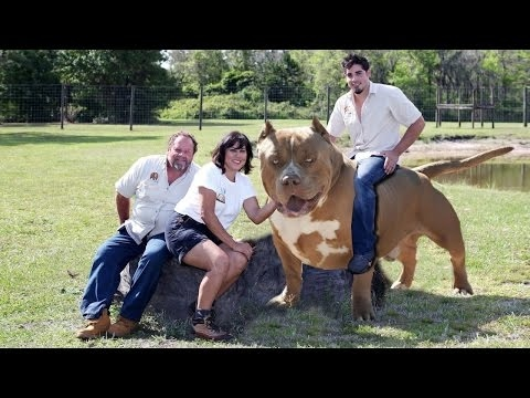 dog breed biggest xxl bully pitbulls in the world [mr fahey] - youtube