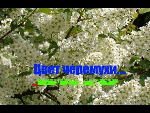 Цвет черемухи (2012) смотреть онлайн сериал