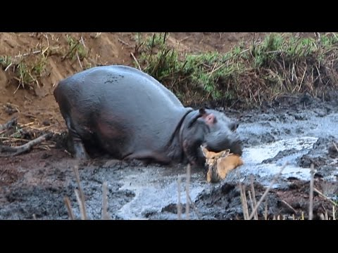 angry-hippo-crushes-antelope