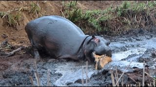 Angry Hippo Crushes Antelope