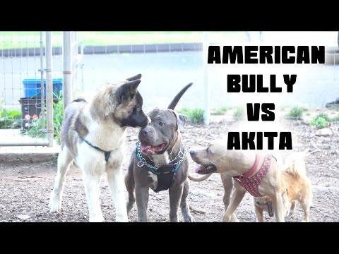American Bully VS Akita