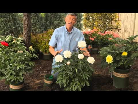 how-to-fertilize-&-trim-peonies-in-the-spring-:-garden-savvy