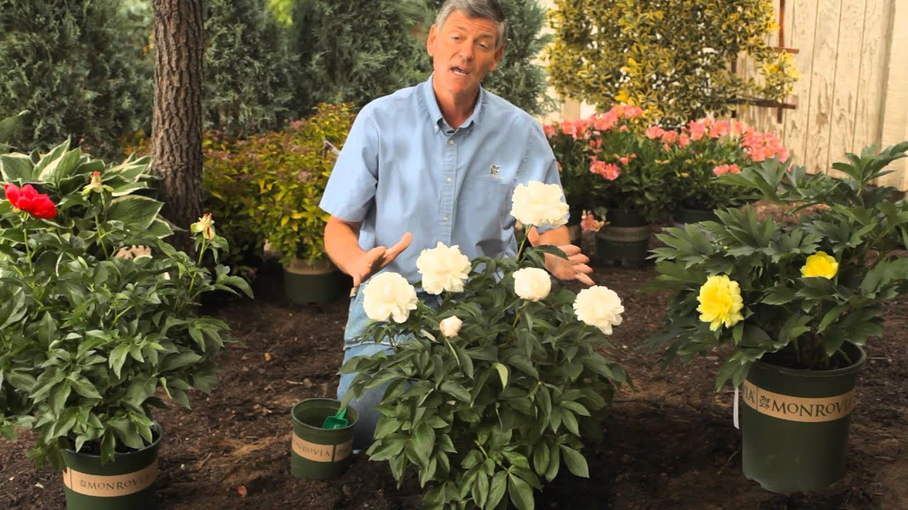 How to Fertilize \u0026 Trim Peonies in the Spring : Garden Savvy - YouTube