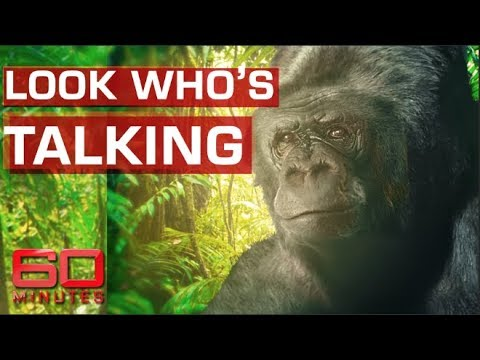 Koko the talking